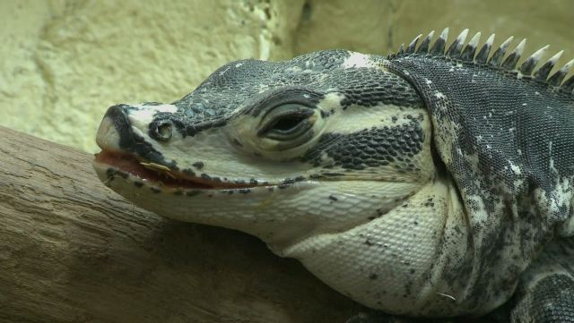 Les reptiles de l'Alligator Bay