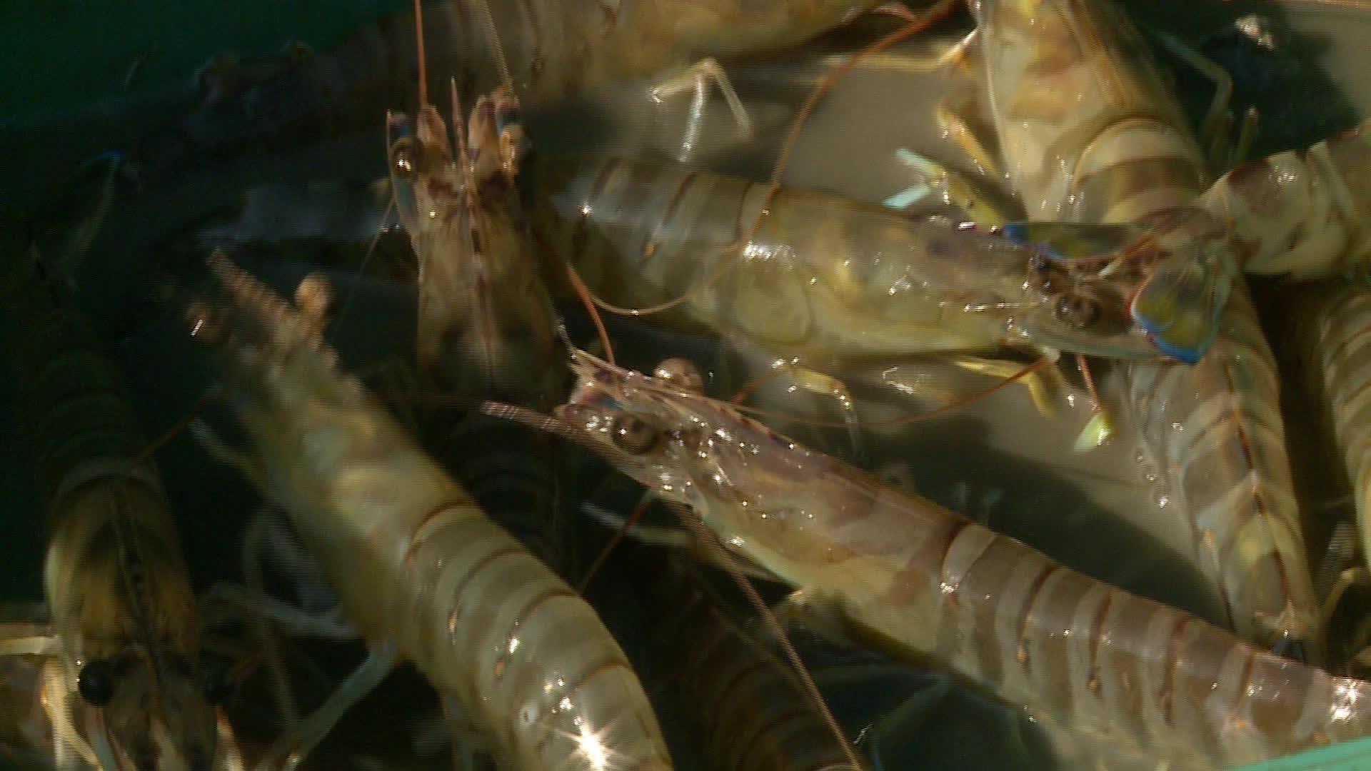 Crevettes impériales