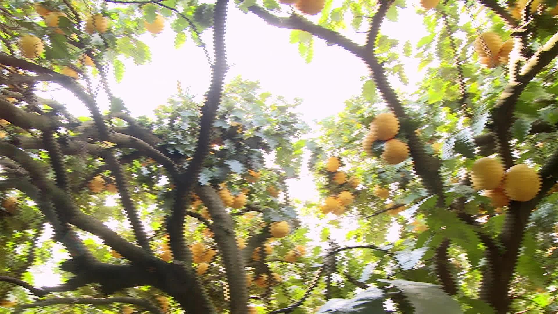 Le pomelo corse