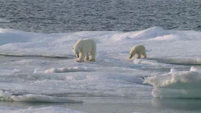 À la rencontre de l'ours blanc
